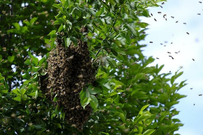 Odlutale rojeve pčela uklanjaju i zbrinjavaju